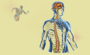 Perfomance-not-in-the-muscle-in-nervous-system